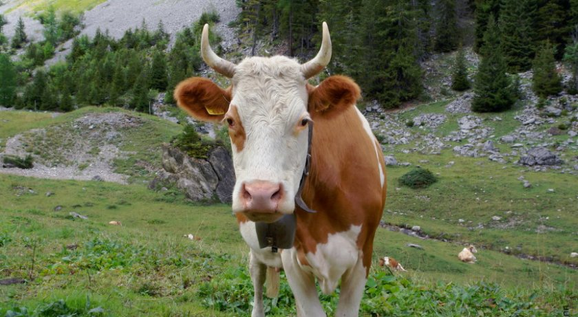 Рога у коровы