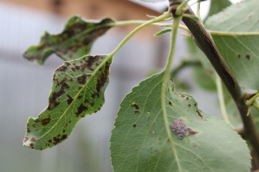 Бурая пятнистость на листьях груши