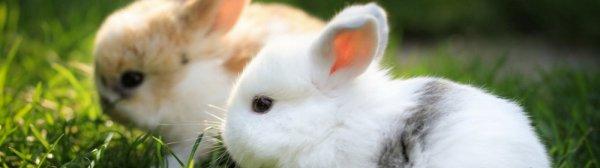 Почему крольчиха съедает своих крольчат сразу после окрола, на 2 и 3 день, через неделю