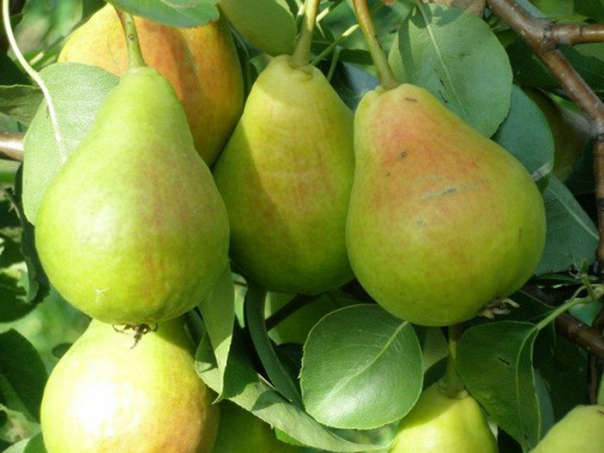 Урожай груши Лира