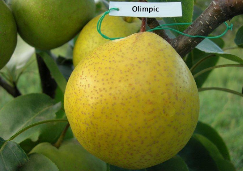 Китайская груша Олимпик, или Большая корейская