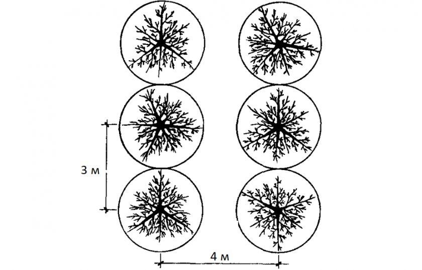 Схема посадки вишен