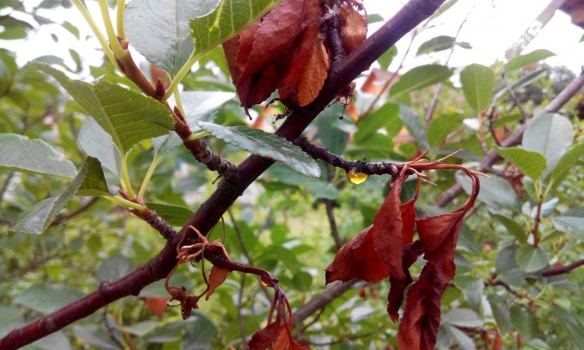 Монилиоз вишни