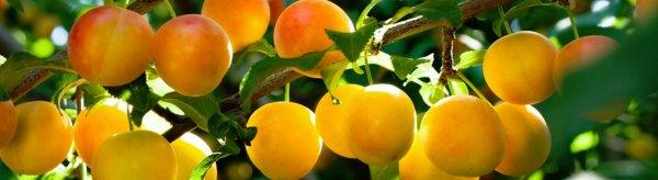 Сорт маленькой круглой сливы золотистого цвета