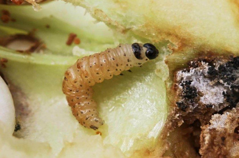 Гусеница яблоневой плодожорки
