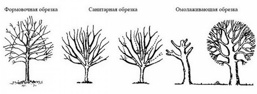 Виды обрезки вишни