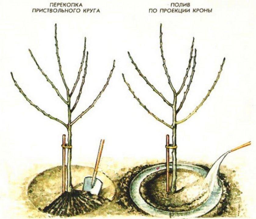 Схема полива грушевого саженца