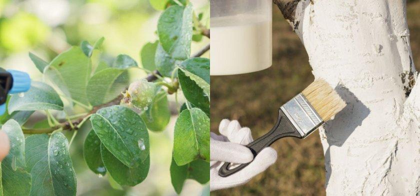 Профилактическая обработка груши от вредителей