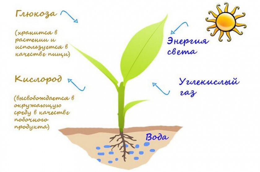 Функции хлоропластов