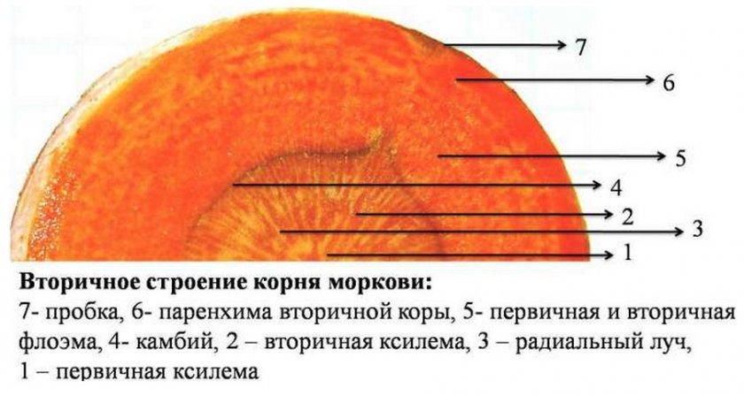 Строение корня моркови