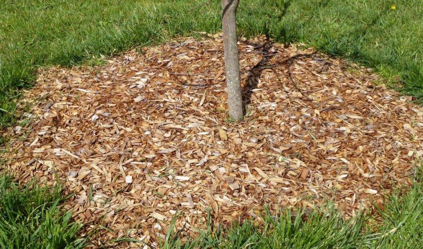 Мульчирование дерева вишни