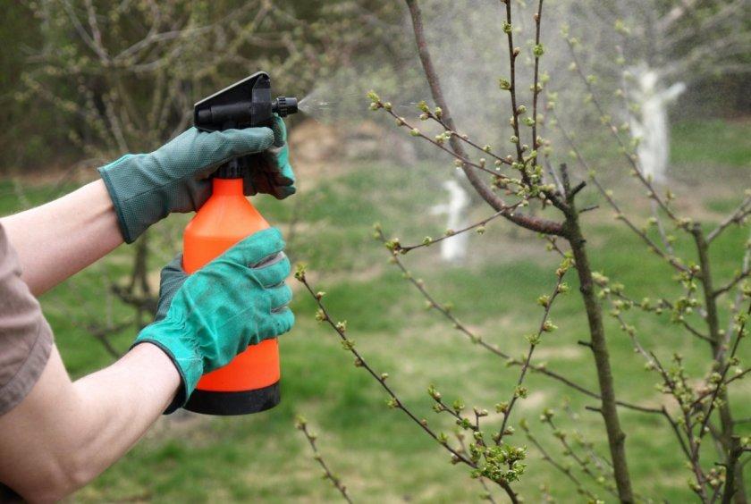Опрыскивание дерева вишни от грибковых болезней