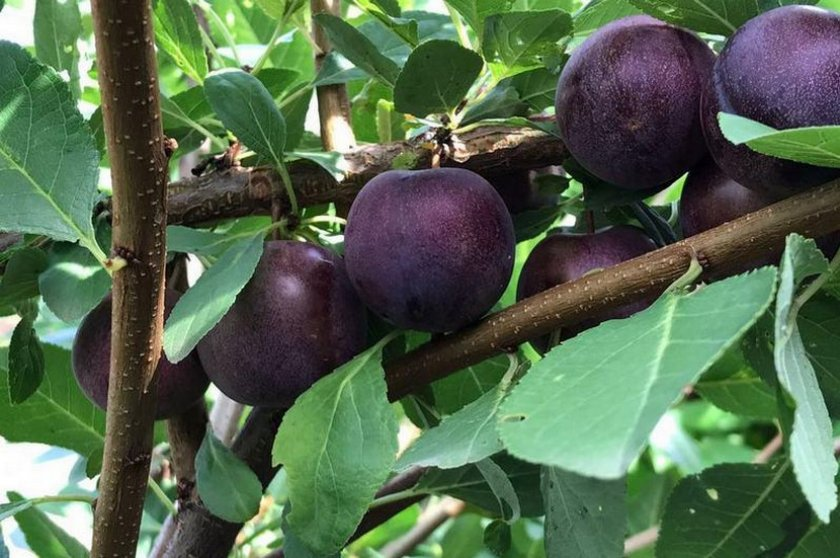 Сливово-вишневый гибрид Сапальта