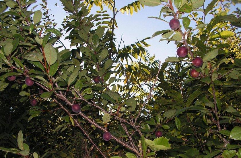 Сливово-вишневый гибрид Гайавата