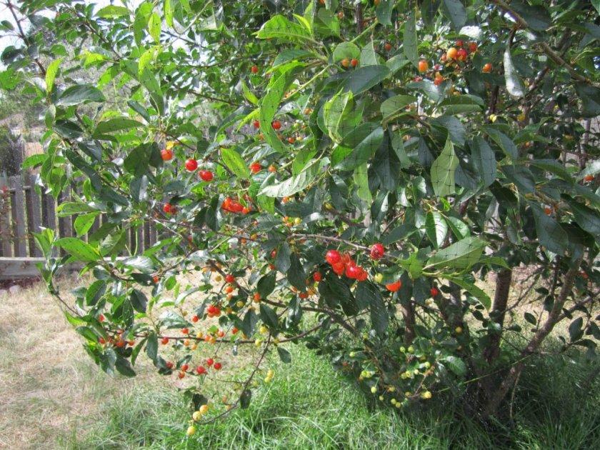 Степная карликовая вишня Гномик