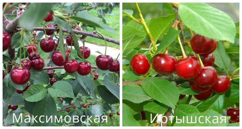 Вишни сорта Максимовская и Иртышская