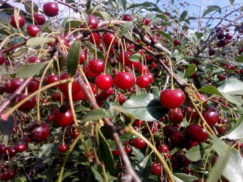 Урожайность степной вишни