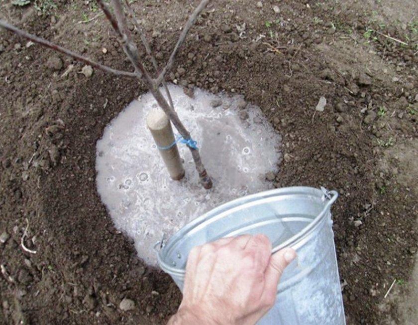 Жидкая подкормка вишни