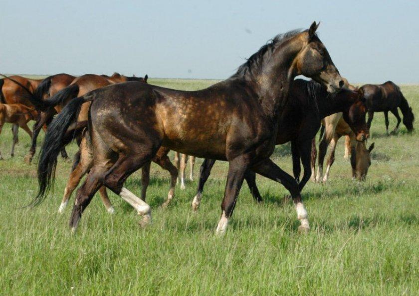Лошади породы Ахалтекинец