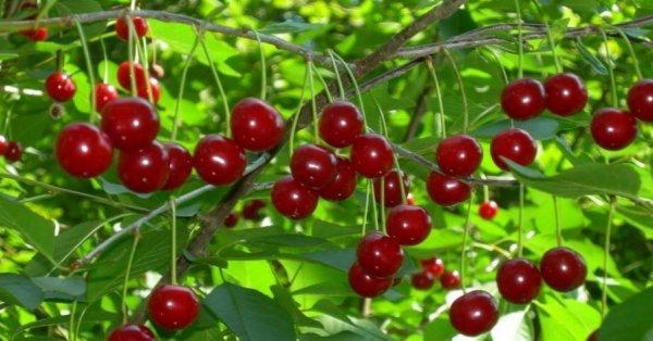 Вишня Призвание: описание сорта и характеристики, особенности выращивания