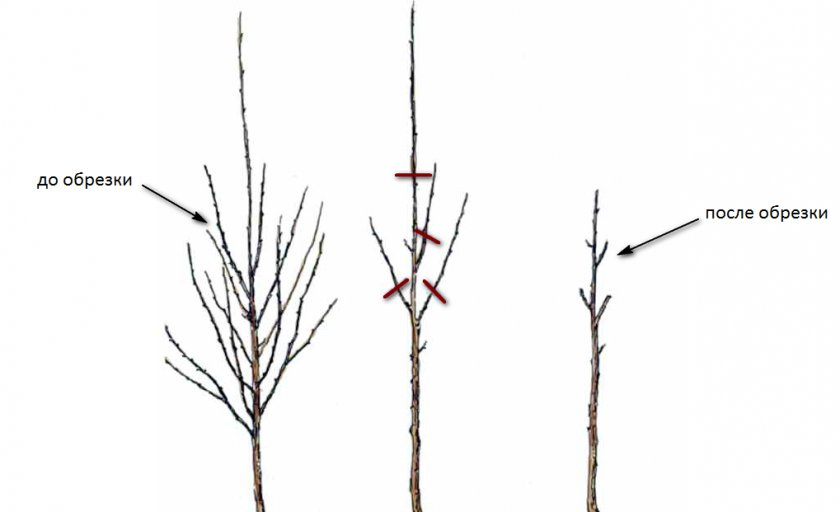 Первый этап обрезки вишни