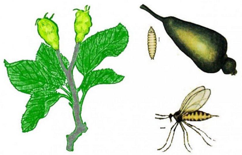 Грушевая листовая галллица