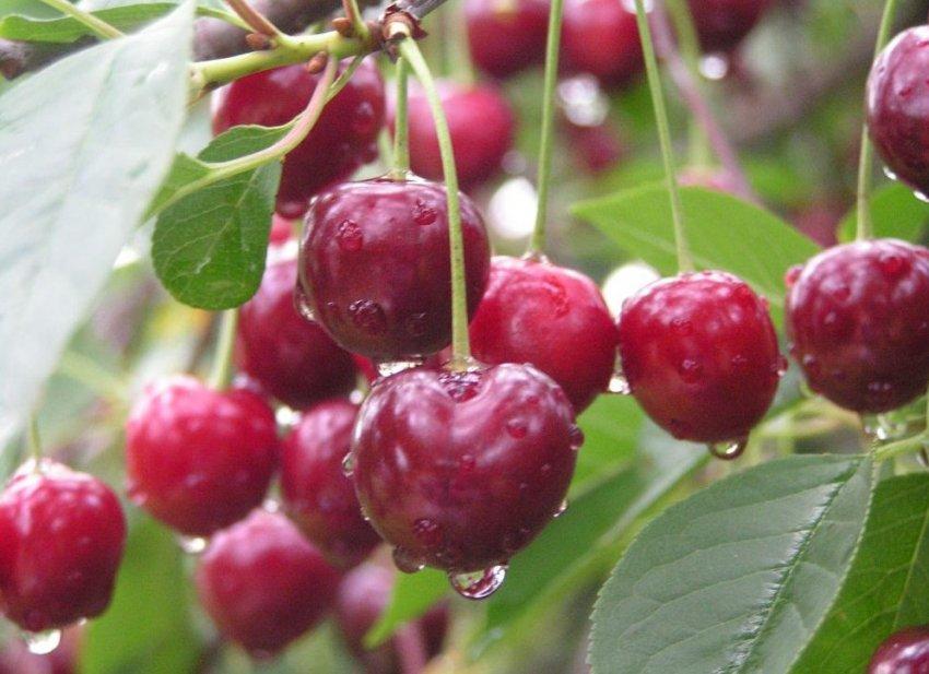 Сорт вишни Волочаевка