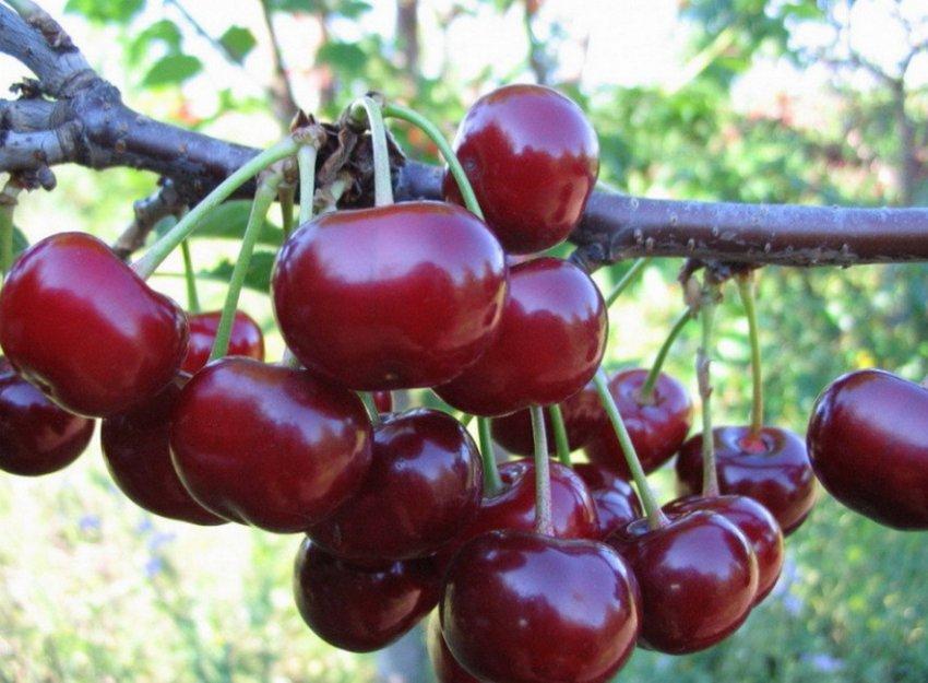 Сорт вишни Радонеж