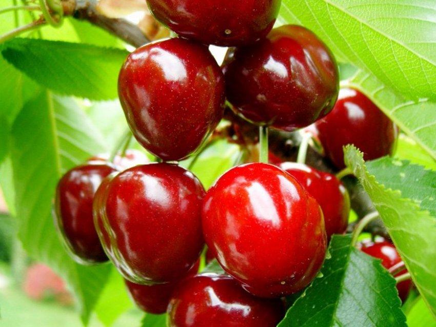 Сорт вишни Тургеневка