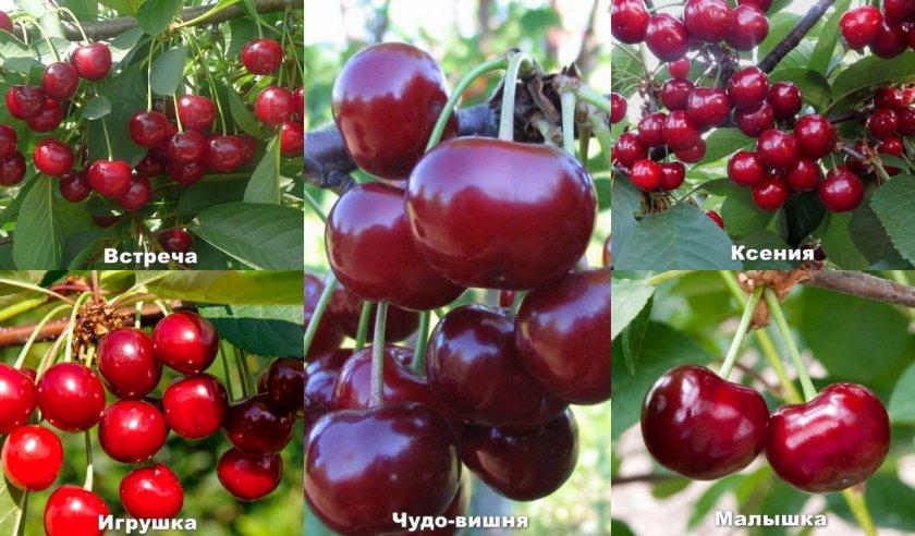 Сорта вишни опылителей