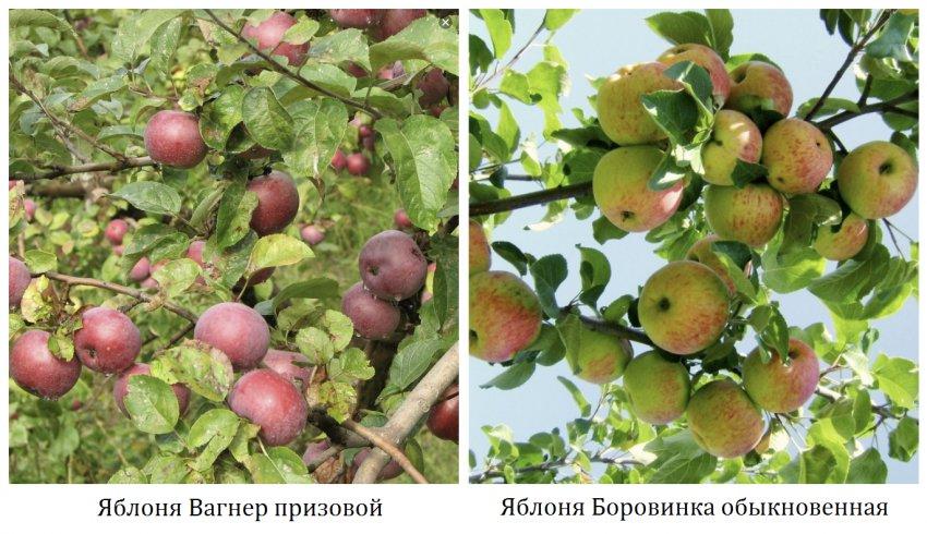 Родительские яблони сорта Жигулёвское