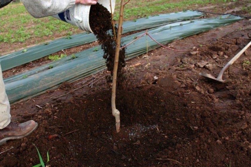 Подкормка саженца вишни