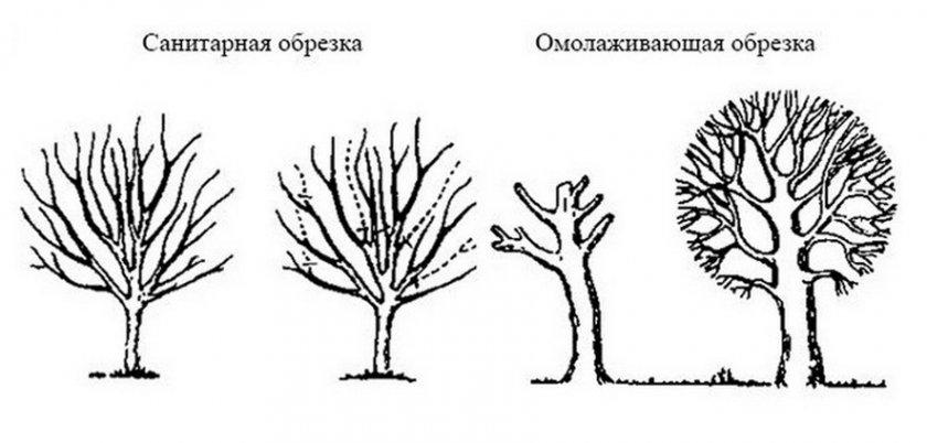 Способы обрезки плодового дерева