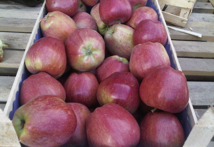 Урожай яблони Ред Делишес
