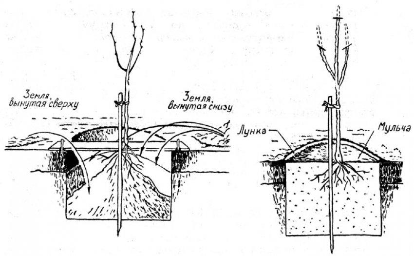 Схема посадки яблони