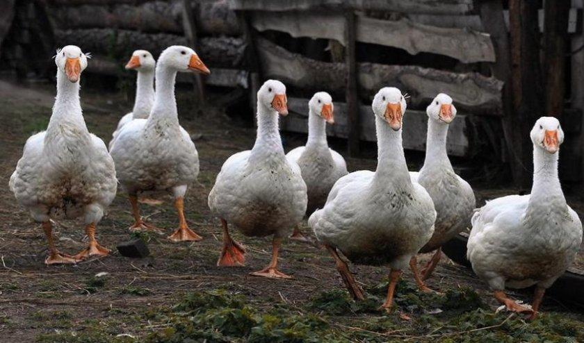 Сколько живут гуси