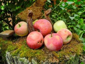 Яблоня россошанское полосатое разновидности описание и характеристики сорта с фото