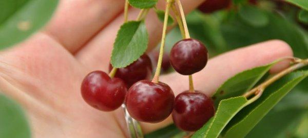 Описание сорта канадской вишни Драгоценный Кармин и характеристики плодоношения