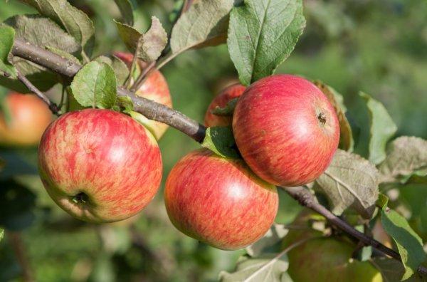 Колоновидная яблоня медок — описание и особенности сорта