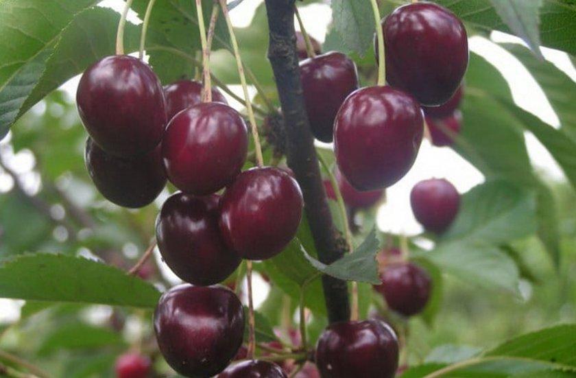 Ягоды вишни Тургеневка