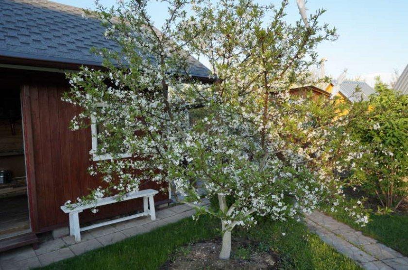 Цветущее дерево вишни Тургеневка