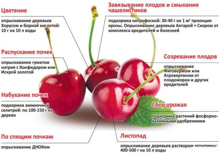 Подкормка и обработка вишни в разные периоды