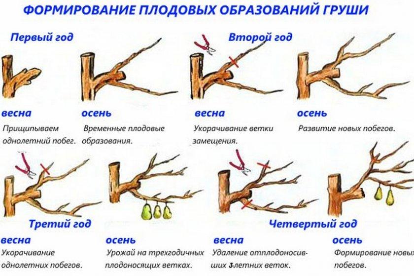 Обрезка груши для повышения урожайности