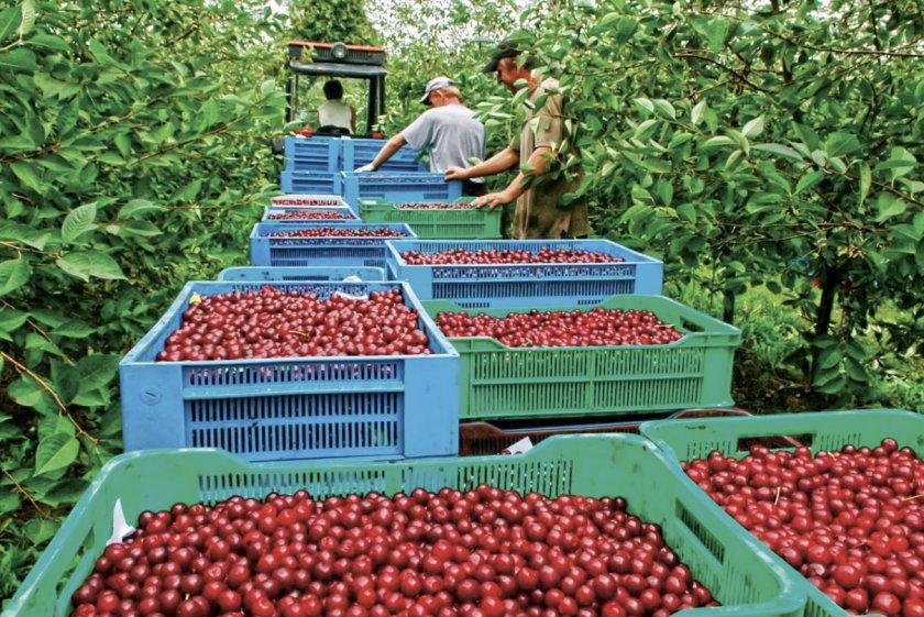 Сбор урожая вишни