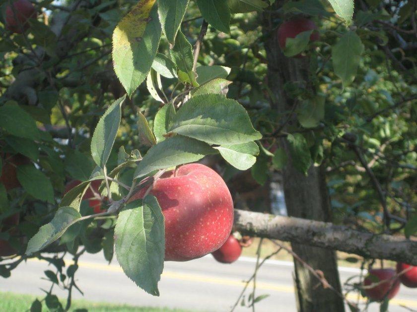 Где лучше посадить яблоню Хани Крисп