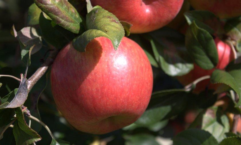 Урожай яблок Хани Крисп