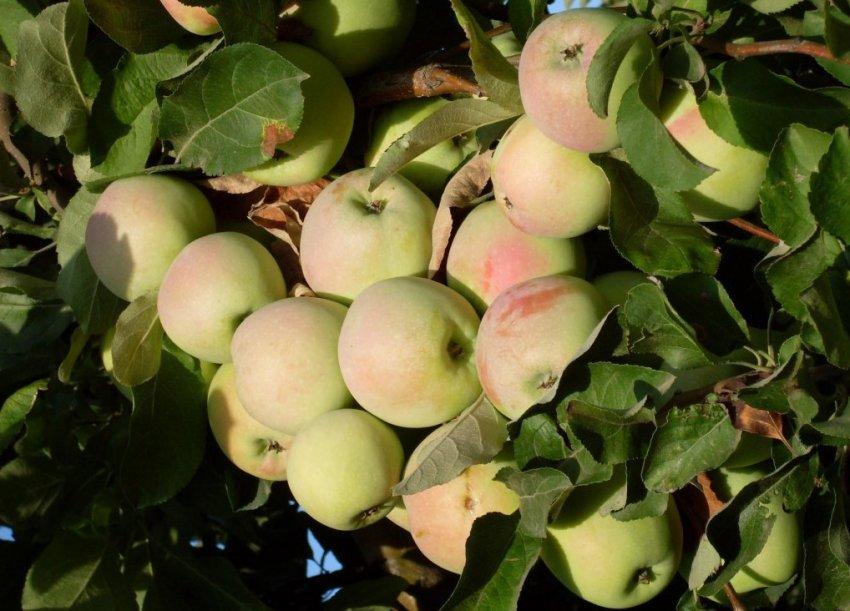 Яблоки сорта Синап