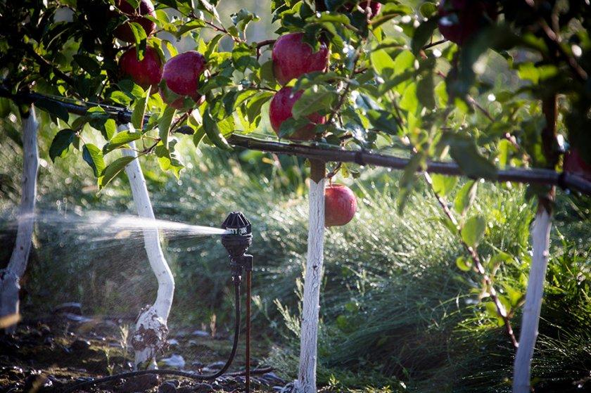 Полив яблок