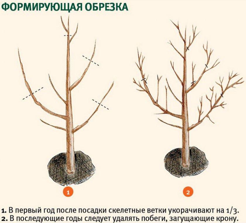 Формирующая обрезка плодового дерева