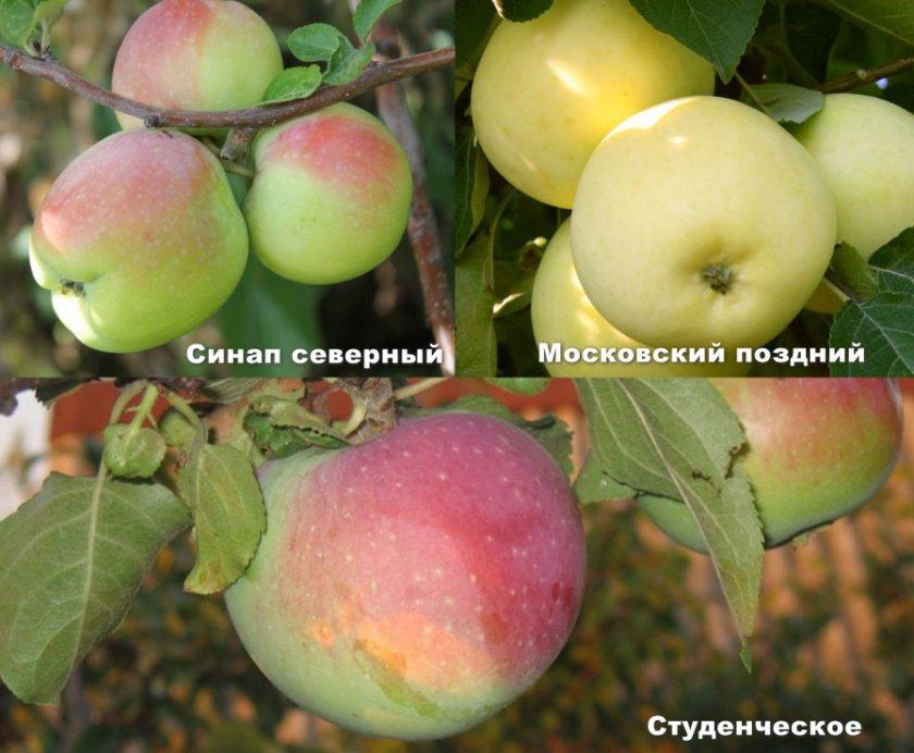 Сорта яблонь опылителей